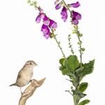 Moineau domestique - Passer domesticus - House Sparrow -  sur fo