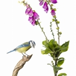 Mésange bleue - Cyanistes caeruleus - Eurasian Blue Tit - sur f