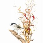 Mésange nonnette - Poecile palustris - Marsh Tit - sur fond bla