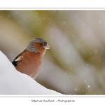 Les oiseaux du jardin photographiés à la mangeoire en hiver. Saison : Hiver - Lieu : Marcheville / Crécy-en-Ponthieu, Somme, Picardie, France.