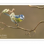 Mésange bleue (Cyanistes caeruleus - Eurasian Blue Tit)