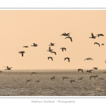 Passage de Tadornes de Belon (Tadorna tadorna - Common Shelduck) en vol - Multitude d'oiseaux rassemblés en baie de Somme par une froide soirée d'hiver - Saison : Hiver - Lieu :  Plages de la Maye, Le Crotoy, Baie de Somme, Somme, Picardie, France