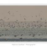 Multitude d'oiseaux rassemblés en baie de Somme par une froide soirée d'hiver - Saison : Hiver - Lieu :  Plages de la Maye, Le Crotoy, Baie de Somme, Somme, Picardie, France