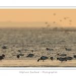 Tadornes de belon et Huitriers-pies. Multitude d'oiseaux rassemblés en baie de Somme par une froide soirée d'hiver - Saison : Hiver - Lieu :  Plages de la Maye, Le Crotoy, Baie de Somme, Somme, Picardie, France