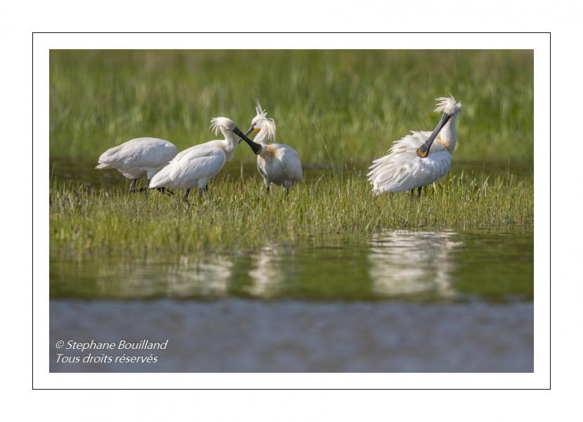 Spatule blanche (Platalea leucorodia - Eurasian Spoonbill) - Grooming