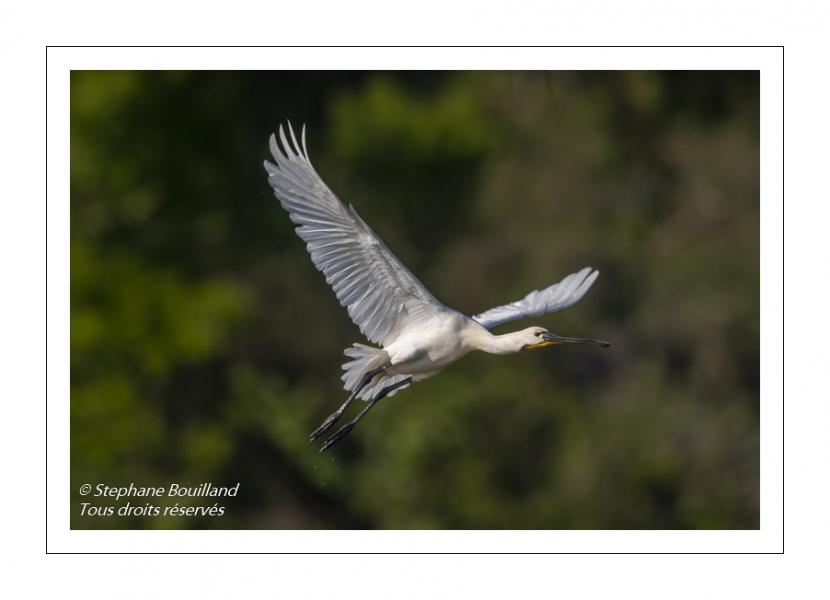 Spatule blanche (Platalea leucorodia - Eurasian Spoonbill) en vol