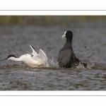 Avocette élégante - Recurvirostra avosetta - Pied Avocet