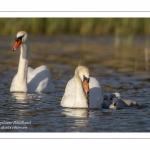 Cygne tuberculé - Cygnus olor - Mute Swan