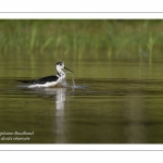 Échasse blanche - Himantopus himantopus - Black-winged Stilt