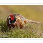 Faisan de Colchide - Phasianus colchicus - Common Pheasant