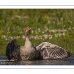 Oie cendrée - Anser anser - Greylag Goose