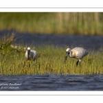 Spatule blanche - Platalea leucorodia - Eurasian Spoonbill