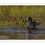 Foulque macroule (Fulica atra - Eurasian Coot) au bain.