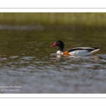 Tadorne de Belon (Tadorna tadorna - Common Shelduck)
