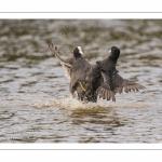 Bagarre entre Foulque macroule (Fulica atra - Eurasian Coot)