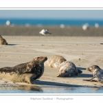 La Baie de Somme et la Baie d'Authie abritent une colonie grandissante de phoques veau-marins et de phoques-gris. Saison : été - Lieu : Beck-sur-mer, Baie d'Authie, Pas de Calais, Nord-Pas-de-Calais