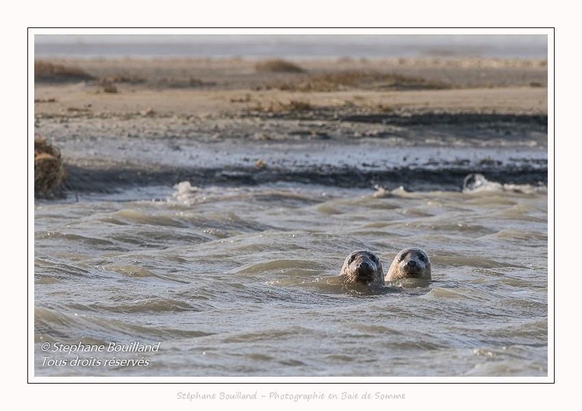Observation de phoques gris en baie de Somme. A marée haute, les phoques viennent s'ébattre dans une anse naturelle à proximité des promeneurs. Saison : hiver - Lieu : Plages de la Maye, Le Crotoy, Baie de Somme, Somme,Picardie, Hauts-de-France, France. Observation of gray seals in the Bay of the Somme. At high tide, the seals come to frolic in a natural cove near the walkers. Season: winter - Location: Maye Beaches, Le Crotoy, Somme Bay, Somme, Picardy Hauts-de-France, France
