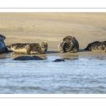 France, Pas-de-Calais (62), Côte d'opale, Berck-sur-mer, phoque gris (Halichoerus grypus) au repos sur les bancs de sable en baie d'Authie // France, Pas-de-Calais (62), Opal Coast, Berck-sur-mer, grey seal (Halichoerus grypus) resting on sandbanks in the Bay of Authie