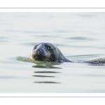 France, Pas-de-Calais (62), Côte d'opale, Berck-sur-mer, phoque gris (Halichoerus grypus) dans le chenal près des bancs de sable en baie d'Authie // France, Pas-de-Calais (62), Opal Coast, Berck-sur-mer, grey seal (Halichoerus grypus) resting on sandbanks in the Bay of Authie