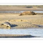 veau marin (Phoca vitulina) sur les bans de sable