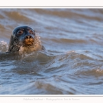 Phoque veau-marin (Phoca vitulina) dans les vagues à marée haute. Saison : hiver - Lieu : Le Hourdel, Baie de Somme, Somme, Picardie, Hauts-de-France, France. Common seal (Phoca vitulina) in waves at high tide. Season: winter - Location: Le Hourdel, Somme, Somme, Picardie, Hauts-de-France, France