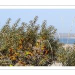 Baies d'Argousier en automne dans les dunes