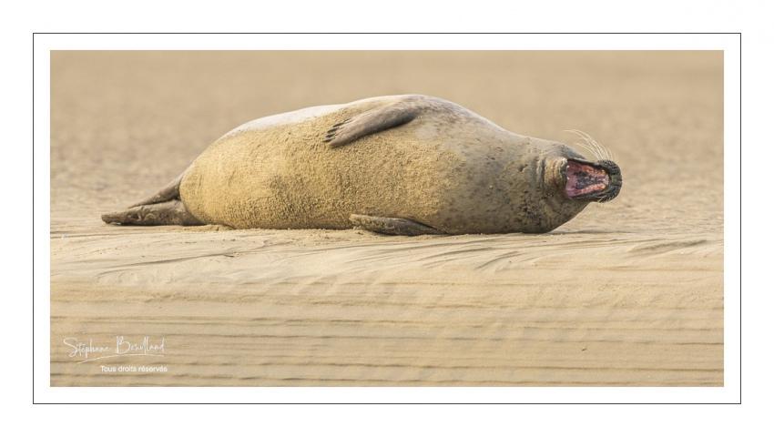 phoque commun, ou veau marin (Phoca vitulina)
