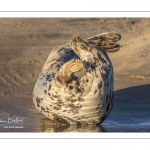 phoque gris (Halichoerus grypus)