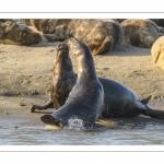 Jeux de phoque gris