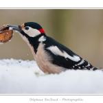 Pic épeiche mâle qui emporte une noix de la mangeoire couverte de neige. - Saison : Hiver - Lieu : Marcheville, jardin privé, Somme, Picardie, France. Photos réalisées à proximité de la mangeoire.