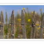 Ganivelles couvertes d'escargots dans les dunes en baie de Somme