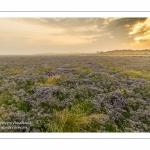 Les mollières de la baie de Somme avec les lilas de mer en fleur au petit matin.