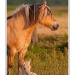 Ce jeune poulain, né le matin même, ne s'écarte encore que très peu de sa mère la jument. Il commence néanmoins déjà à galoper un peu, mais passe le plus clair de son temps à têter et à dormir.Saison : été - Lieu :  Hâble d'Ault, Cayeux-sur-mer / Ault, Baie de Somme,Somme, Picardie, France