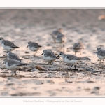Becasseaux_sanderling_quend_21_01_2017_001-border