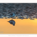 Becasseaux_sanderling_quend_21_01_2017_002-border