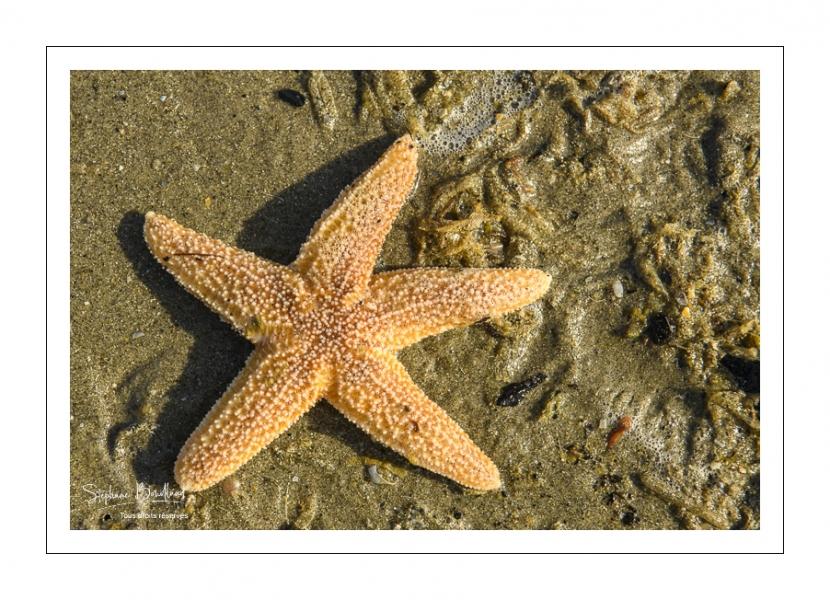 étoile de mer commune (Asterias rubens)