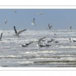 Goélands argentés sur la plage (Larus argentatus - European Herring Gull)