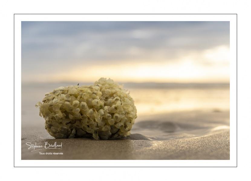 Oeufs de bulot sur la plage