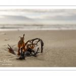 Algue sur la plage