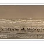 Goélands cendrés (Larus canus - Mew Gull) sur la plage à marée descendante