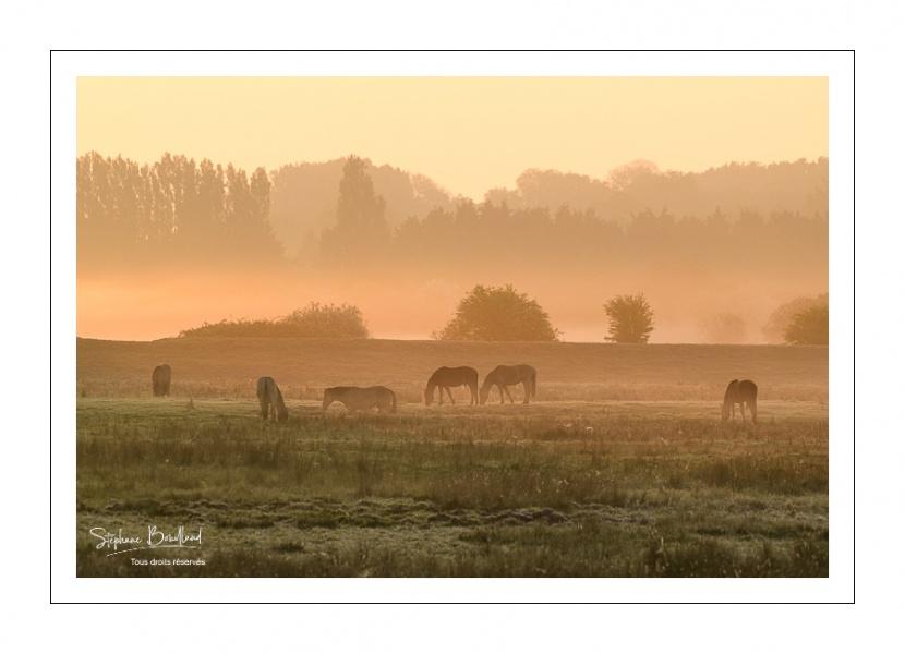 Chevaux Henson dans la brume matinale