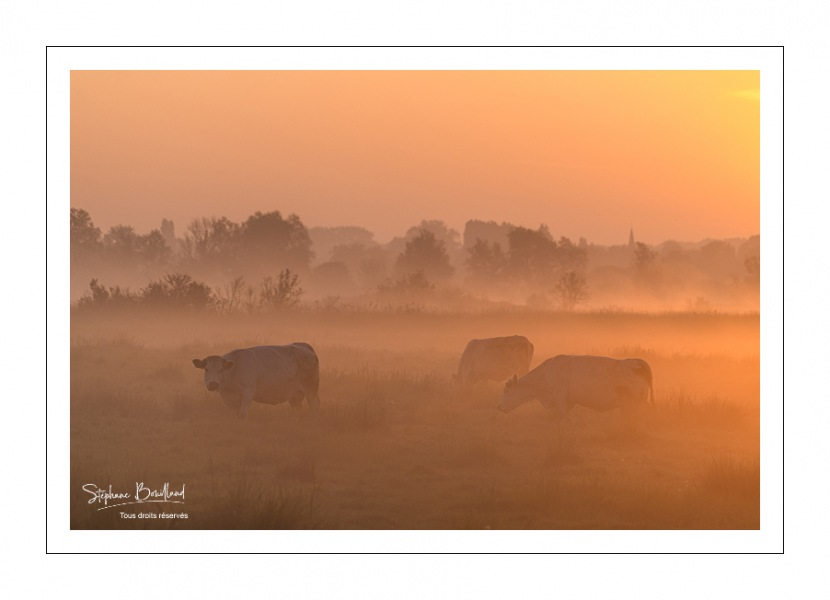 vaches charolaises en pâture dans les renclôtures