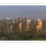vaches charolaises dans la brume matinale
