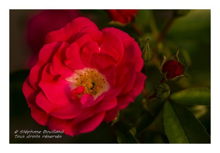 Les roses de mon jardin photos de la baie de somme et de for Camping jardin de mon pere la baie