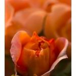 Rose du jardin en fleur - Saison : Printemps - Lieu : Marcheville, Somme, Picardie, France
