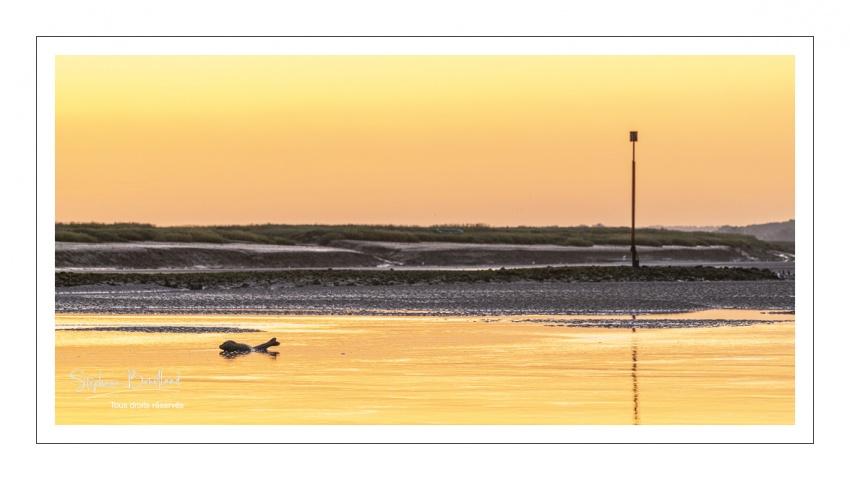 Un phoque veau-marin dans le chenal de la Somme au petit matin