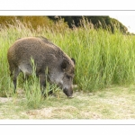 Sanglier au Cap Hornu