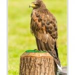 St-Riquier-Medievale-Oiseaux_0035-border