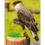 St-Riquier-Medievale-Oiseaux_0036-border