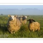 Les agneaux et moutons de pré-salé dans les mollières de la baie de Somme.